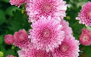 Chrysanthemum by Wallpaper Chrysanthemum Flowers Wallpaper Full Hd Wide