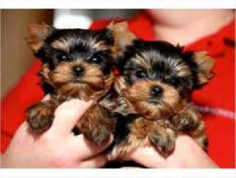 teacup yorkie boy names yorkie puppies boy names breeds picture