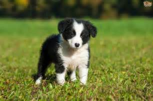 Border collie dog breed information facts photos care pets4homes
