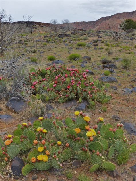 Botanical Gardens Utah by Plantfiles Pictures Englemann S Prickly Pear Cactus Prickly Pear Cactus Cactus Apple
