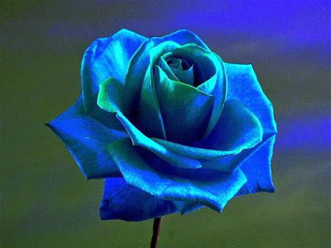imagenes de rosas blancas y azules ahora s 233 significado de las rosas