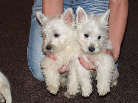 west highland terrier puppies for sale west highland terrier puppies for sale biggar lanarkshire pets4homes
