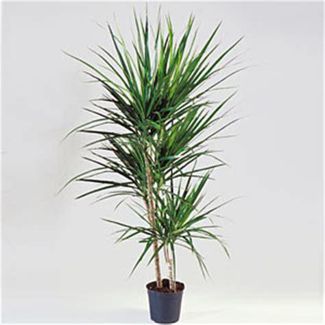 piante da interno alte piante da interno dracaena marginata due tronchetti di