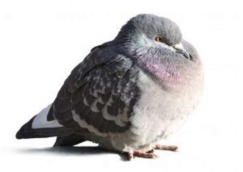 alimentazione piccioni piccione scaricare foto gratis