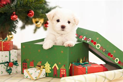 10 reasons why not to get a puppy this christmas inside