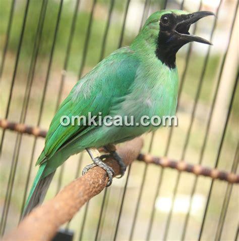 video cucak hijau camcau dicas lovebird langsung bongkar