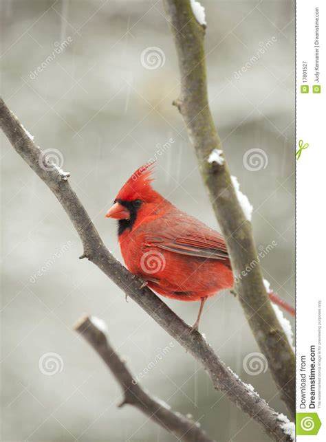 beautiful northern cardinal sitting in bare dogwood tree cardinal bird in tree stock image image of animal 17801527