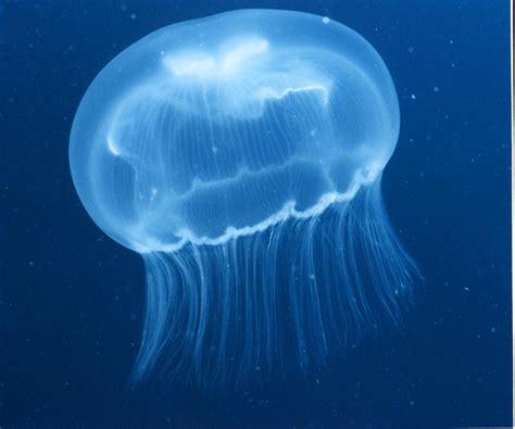 real jellyfish lava l cnidaria cnidaires