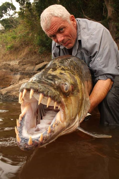 tiger fish fun animals wiki videos pictures stories