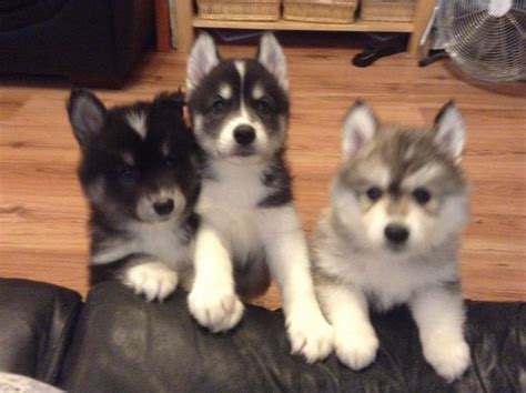 samoyed husky puppies siberian samoyed puppies pictures to pin on pinsdaddy