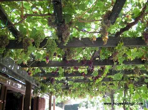 grape arbor a terrace wraps around the barn with a grape arbor it is covered with grape vines may through
