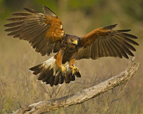 harris s hawk audubon field guide