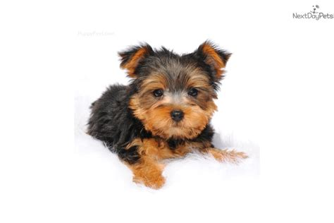 yorkie puppies for sale in jackson ms wooley terrier yorkie puppy for sale near jackson mississippi e19ed94b