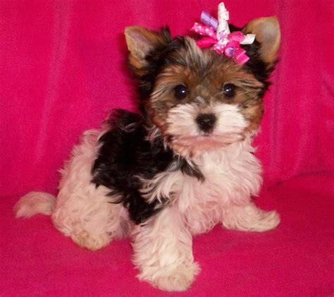 parti colored yorkies for sale home www gardenpartiyorkiesandbiewers
