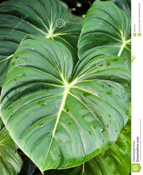large leaves stock images image 4556194
