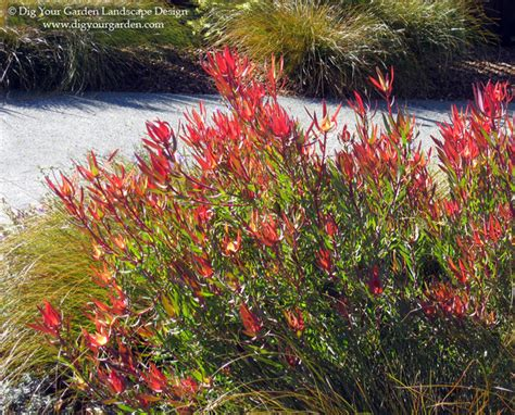 mediterranean flowering shrubs leucadendron safari sunset a favorite drought tolerant