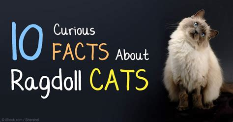 10 Ragdoll Cat Facts Every Cat Lover Should Know