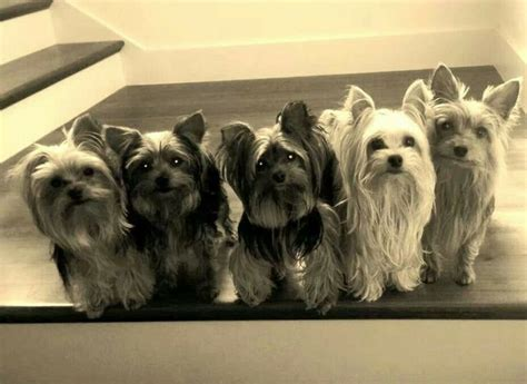 yorkie family 11 best yorkie patriotic images on yorkie yorkies and terriers