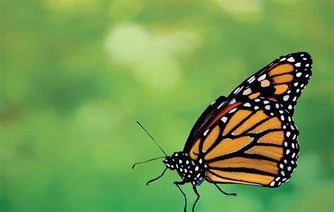 imagenes en png de mariposas mariposa monarca salvemos a un amigo