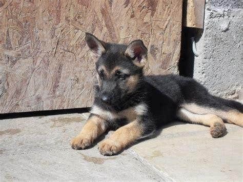 brown german shepherd puppies black and brown german shepherd puppy german shepherds 2