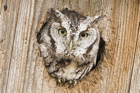 you can attract screech owls to your yard birdwatching