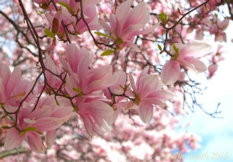 Images Of Magnolias Flowers - magnolia virginiana goodmorninggloucester
