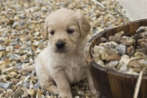 golden retriever litter beautiful pedigree golden retriever litter swansea swansea pets4homes