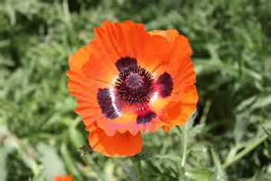 close up of poppy flower flower pictures 1078