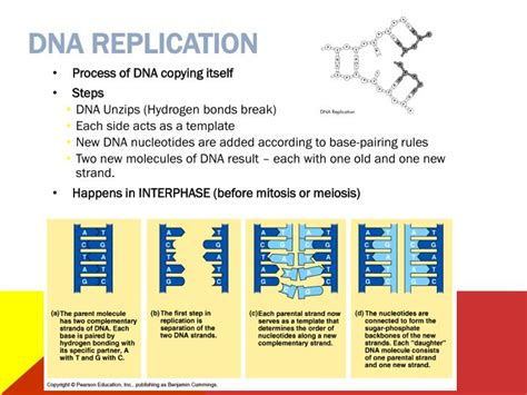 Ppt You Asked For It Powerpoint Presentation Id 5314311 What Acts As The Template In Dna Replication