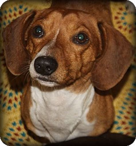 puppies for adoption in sc greenville sc dachshund meet schnitzel a for adoption