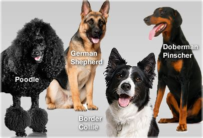 what is the smartest breed intelligence quiz smartest breeds how to make your smarter