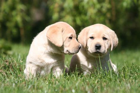 alimentazione labrador retriever salute labrador retriever consigli utili mio labrador