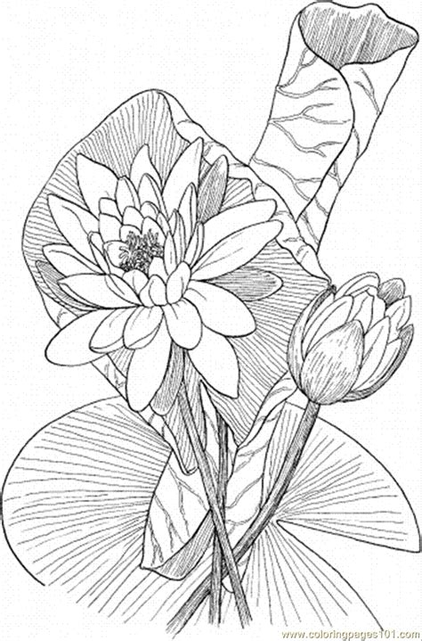 lily coloring pages coloring pages