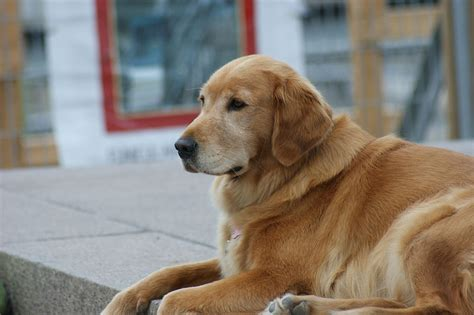 golden retriever montreal file canadian golden retriever jpeg wikimedia commons