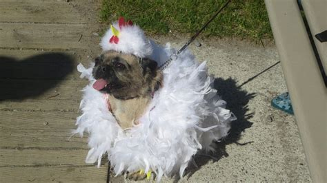 chicken pug pug dressed as chicken by codetski101 on deviantart
