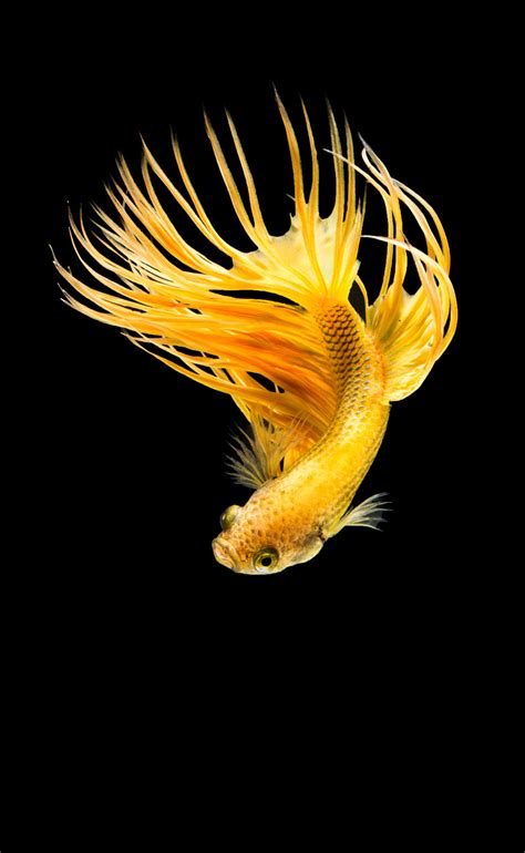 what color are fish fighting fish siamese fighting fish colour fish color fish