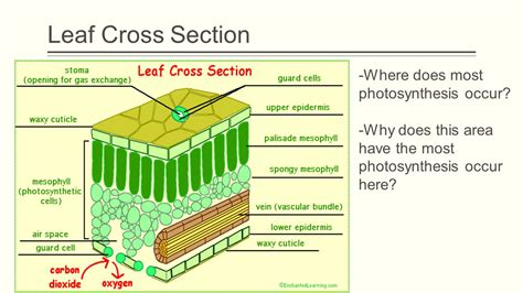 How Do Sections Take by What Part Of The Leaf Does Photosynthesis Take Place The