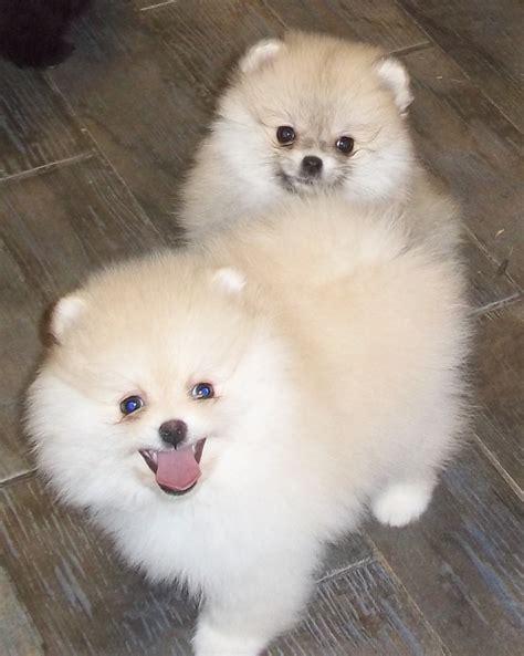 100 pomeranian puppies sale pomeranian pups for sale in ca 2009