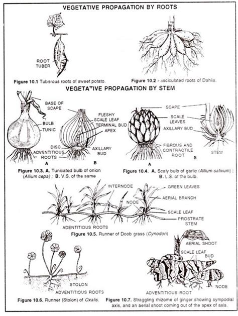 vegetative propagation by roots vegetative reproduction in angiosperm