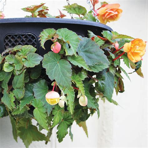 Begonia Basket 1 begonia illumination white f1 plants baskets from mr