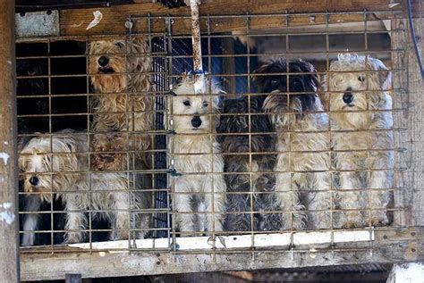 puppy mill puppy mills the horror of my creating animal