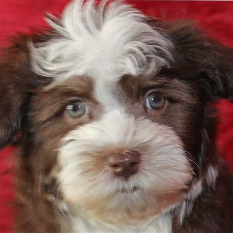 havanese puppies idaho havanese puppy for sale in boca raton south florida