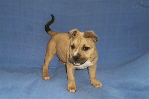 american staffordshire puppies for sale american staffordshire terrier puppy for sale near atlanta 226a7ca6 67e1
