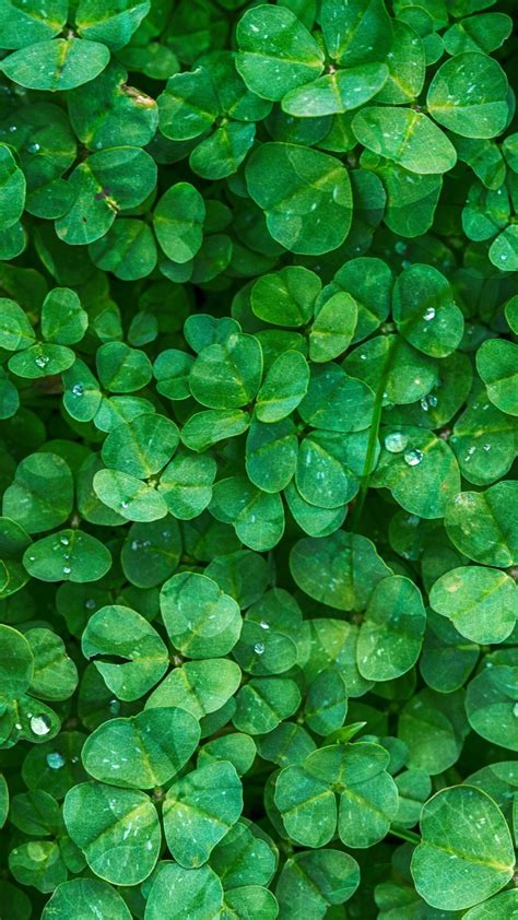 irish clovers wallpaper mobile desktop background