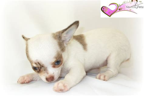 chihuahua puppies for sale in ma chihuahua puppy for sale near worcester central ma massachusetts d89cf1f1 b0f1