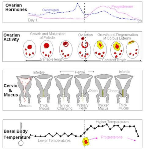 cervical mucus   cycle glow community