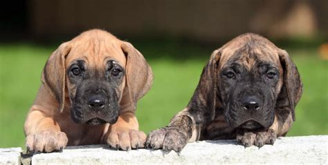 great dane puppies in michigan great dane puppies michigan pkhowto