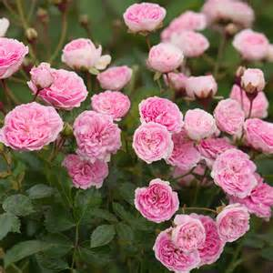 Pink Flower Prints - jean mermoz shop all roses type
