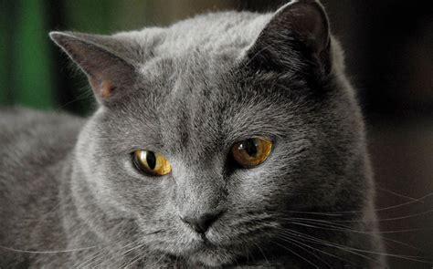 gatto certosino alimentazione il gatto certosino una razza con oltre 1000 anni di