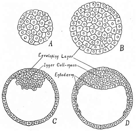 blastula diagram book text book of embryology 7 embryology